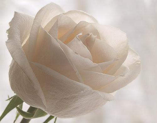 Белая роза схема вышивки