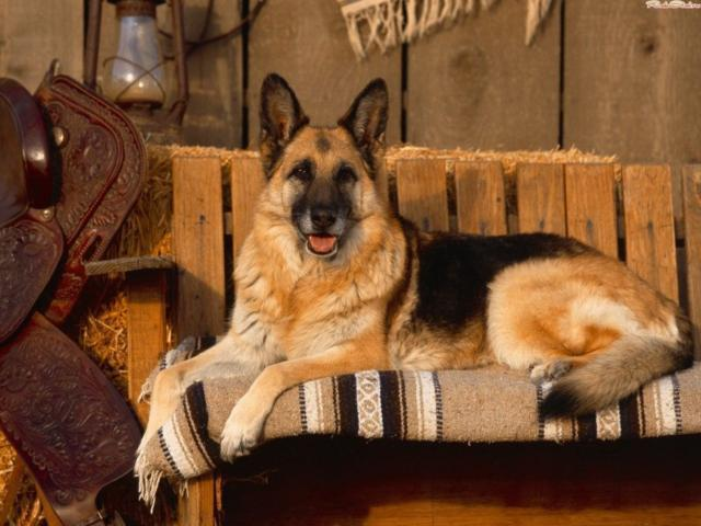 Немецкая овчарка, оригинал