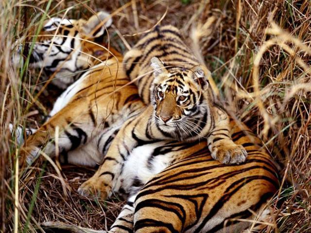 Семейство тигров, оригинал