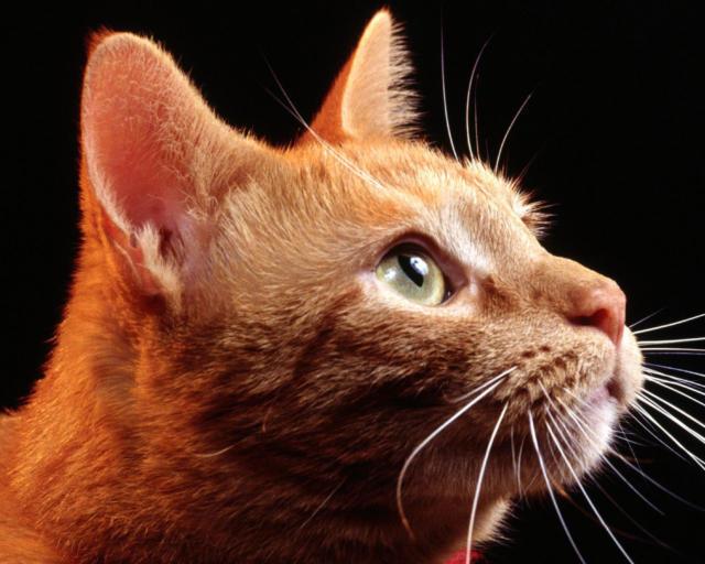 Рыжий кот, оригинал