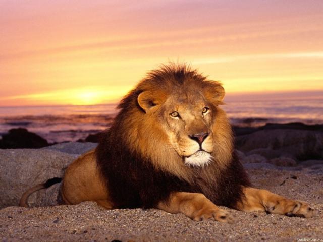 Царь зверей, оригинал