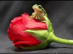 Картинки по запросу лягушка и роза