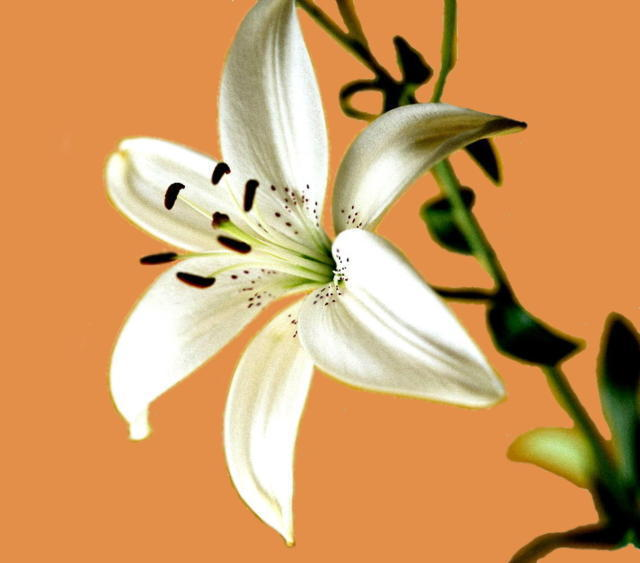 Lily, �����, �����