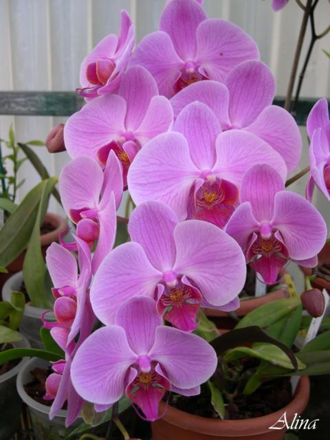 Орхидея фаленопсис, оригинал