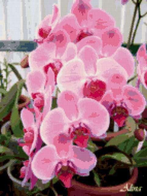 Орхидея фаленопсис, орхидеи