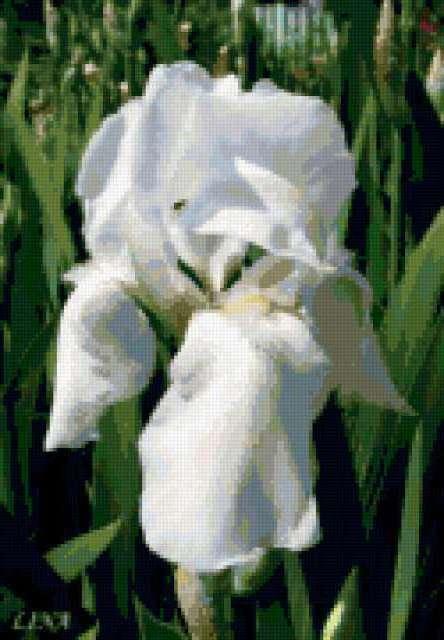 Белый ирис, предпросмотр