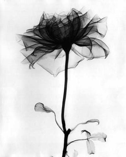 Черная роза, оригинал
