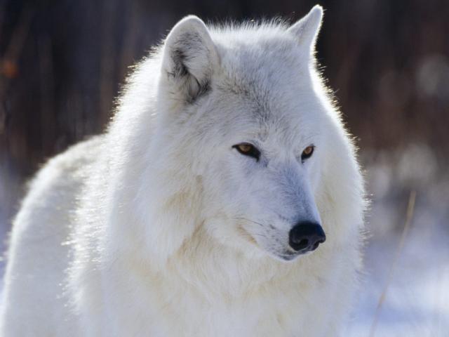 Белая волчица, оригинал
