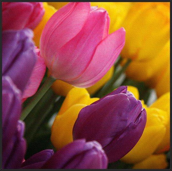 """Акварели"", тюльпаны"