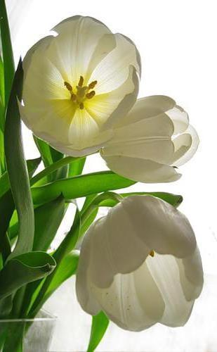 Белые тюльпаны, оригинал