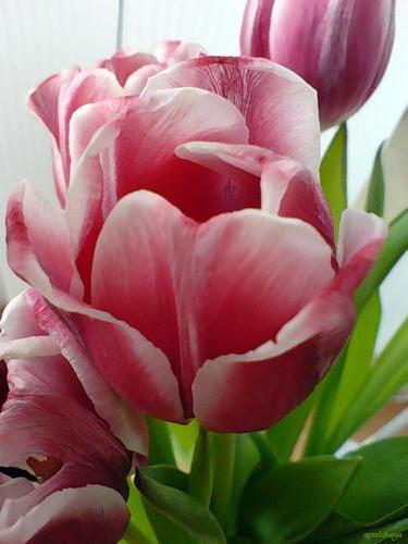 Розовые тюльпаны, оригинал