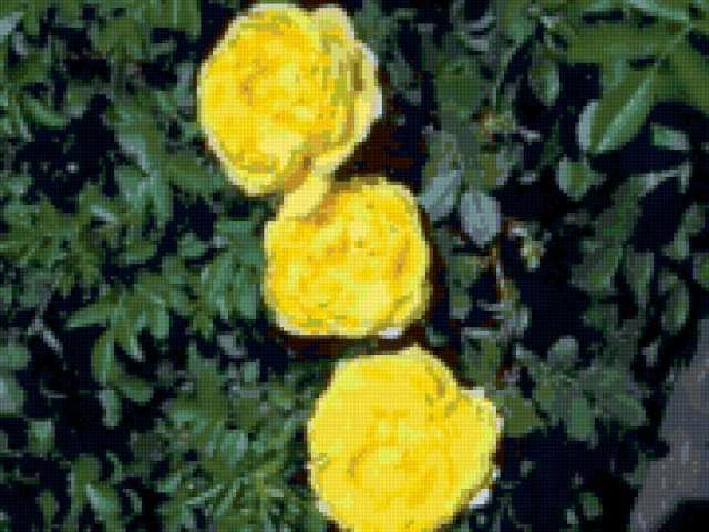 Желтый шиповник, предпросмотр