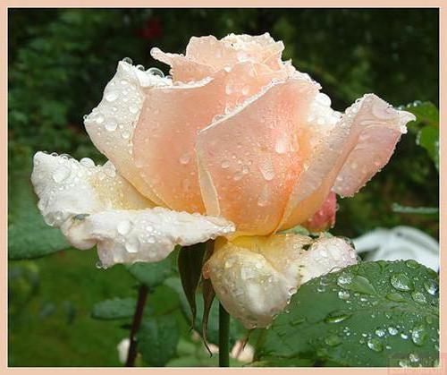 Розовая роза в каплях, роза,