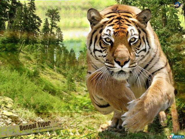 Прыжок, тигр, прыжок, фауна,
