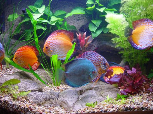 Дискусы, аквариум, подводный