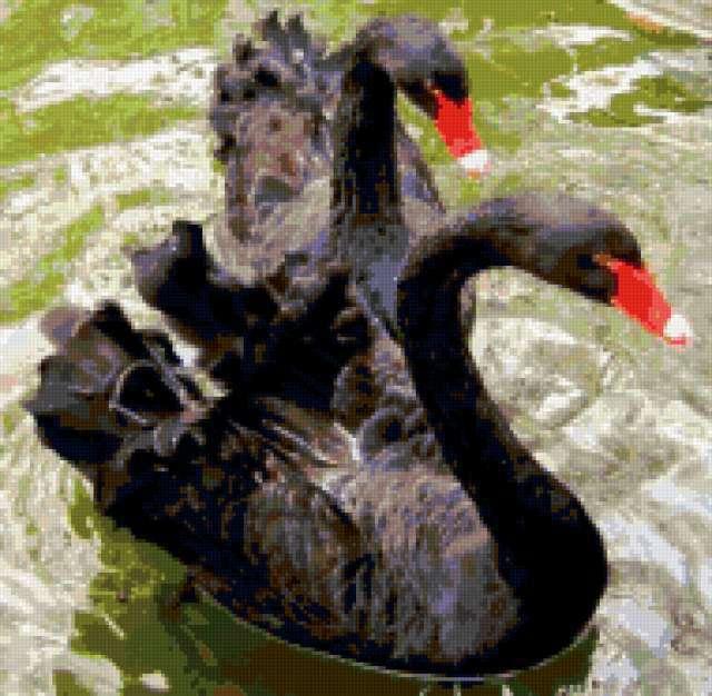 Черные лебеди, предпросмотр