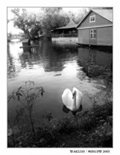 Лебедь в черно-белом цвете,
