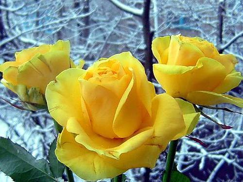 Желтые розы, розы
