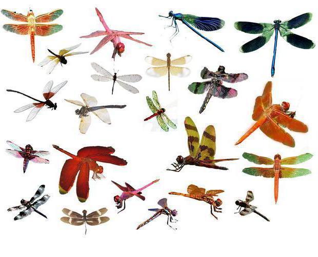 Стрекозы, стрекозы, природа