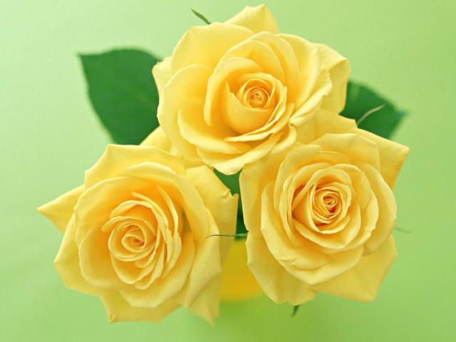 Желтые розы, натюрморт, цветы,