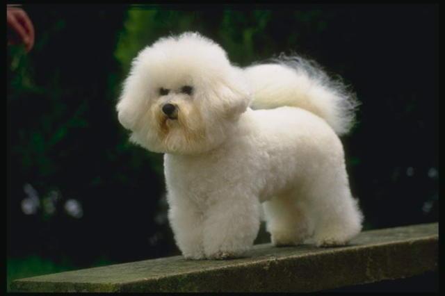 Собака: пудель, оригинал