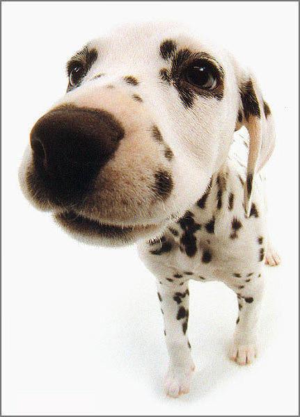Далматин, собаки