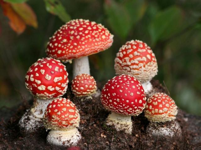 Грибы мухоморы, грибы мухоморы