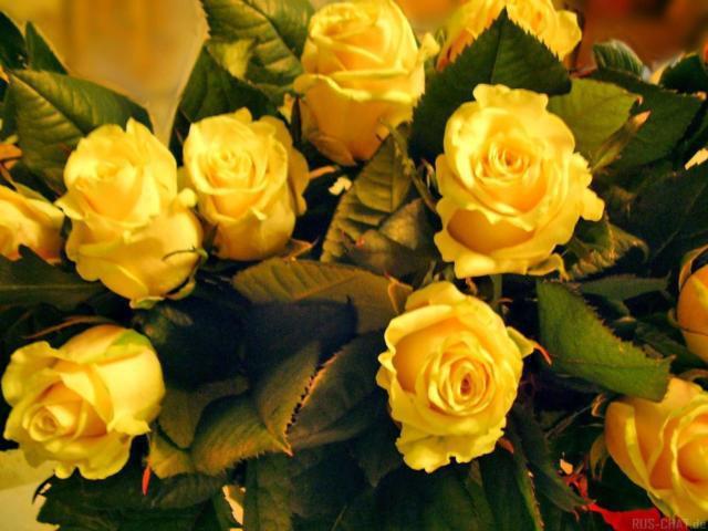 Желтые розы, цветы, роза