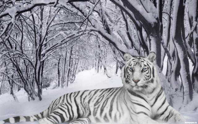 Белый тигр в зимнем лесу,