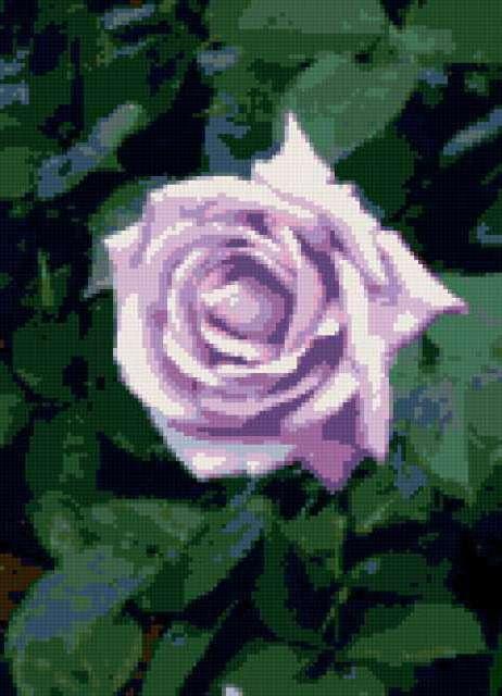 Почти голубая роза