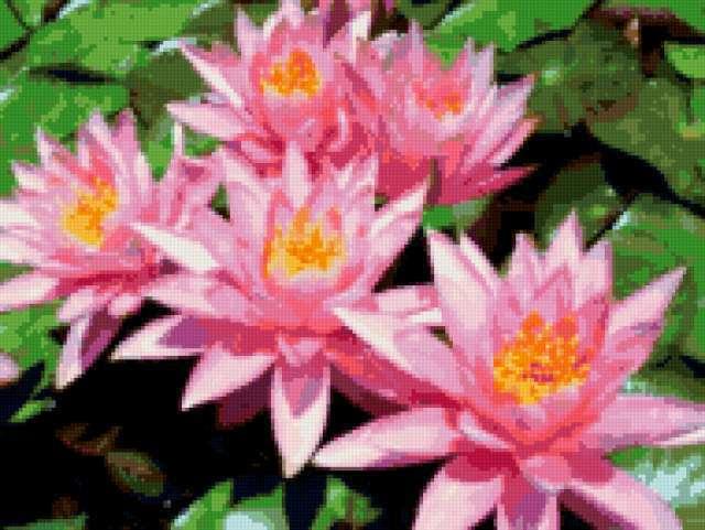 Изумительные водяные лилии