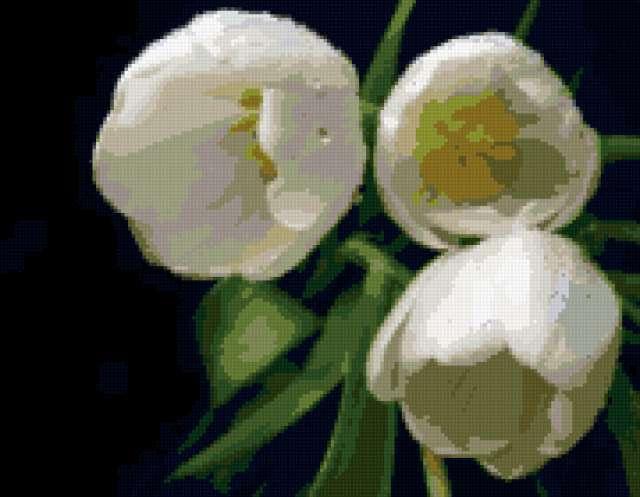 Белые тюльпаны, природа. цветы