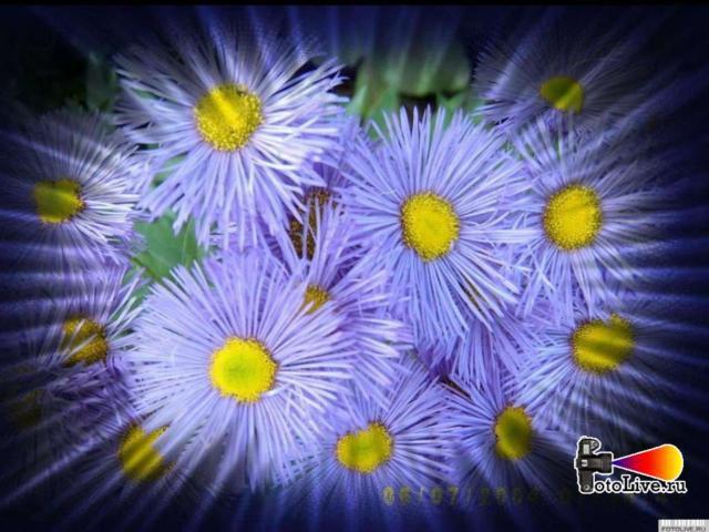 Астра, цветы, растения, астра,