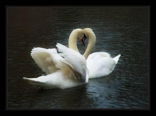 Два лебедя, оригинал