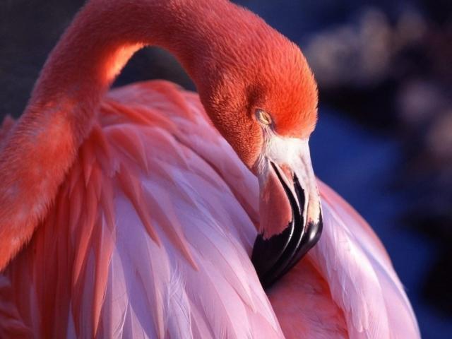 Розовый фламинго,