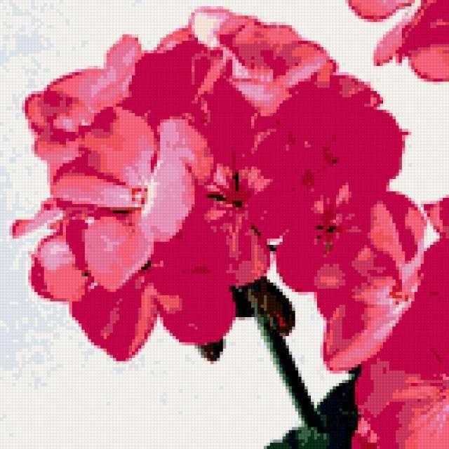 Цветок герани, предпросмотр