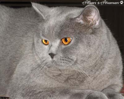 Британский кот, оригинал