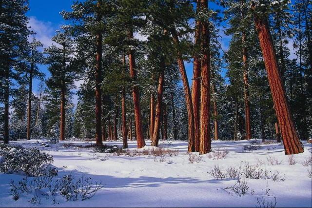 Сосны в зимнем лесу, оригинал