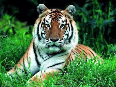 Амурский тигр, оригинал