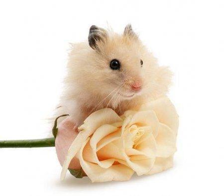 мыши, крыса, роза, розы