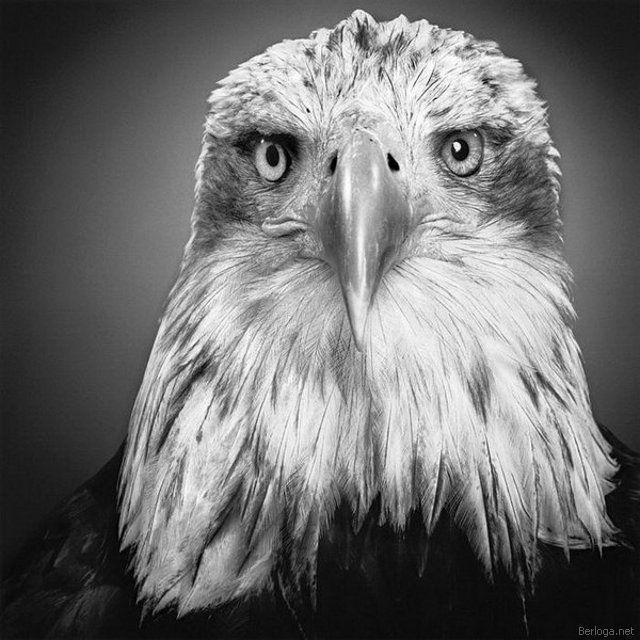Орёл, оригинал