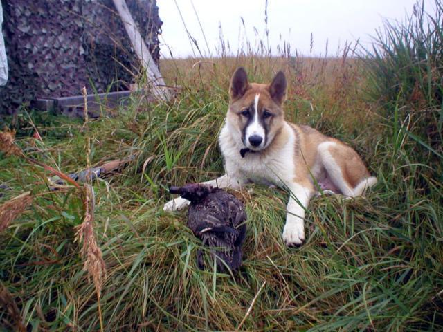 Охотник, животные, собака
