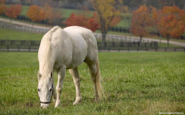 Белая лошадь, животные, лошадь