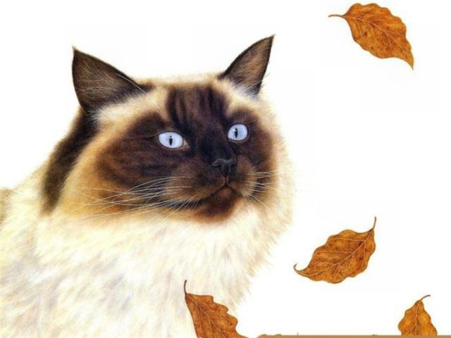 Сиамский кот 2, сиамский кот,
