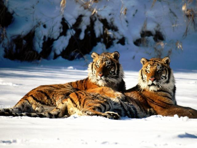 Пара тигров на снегу, тигр,