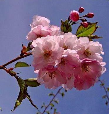 Цветы сакуры розовой, оригинал