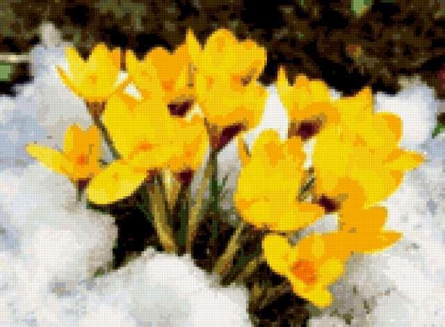 Крокусы желтые на снегу,