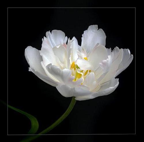 Белый тюльпан, оригинал