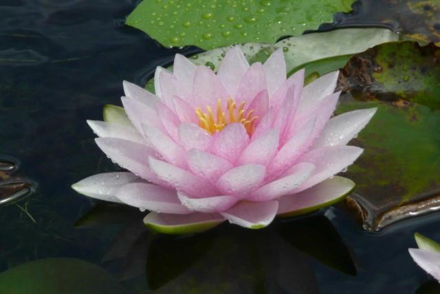 Цветок лилия фото