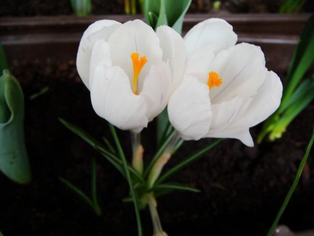 Белые крокусы, оригинал